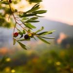 Περισυλλογή ελιάς: Με ποια εργαλεία κήπου μπορείτε να την κάνετε